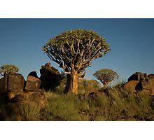 Double Quiver Tree Photographic Print