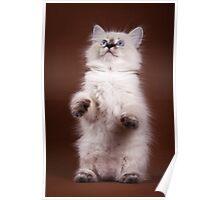 fluffy Siberian cat Poster