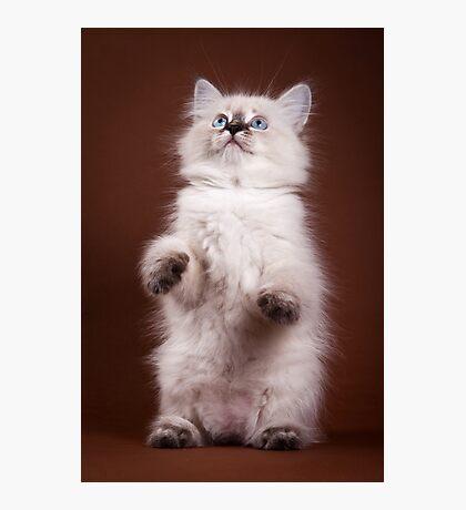 fluffy Siberian cat Photographic Print