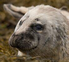 Grey Seal Pup by Jon Lees