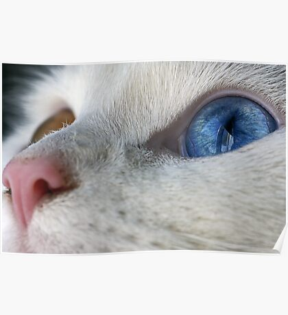 Daisy the Heterochromia eyed cat Poster