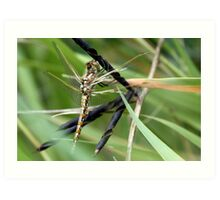 Variegated Meadowhawk, Immature, Perched on Seed Pod Art Print