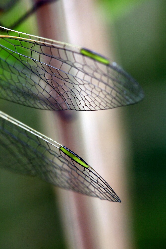 Variegated Meadowhawk, Immature Female, Wing Tips by Wolf Read
