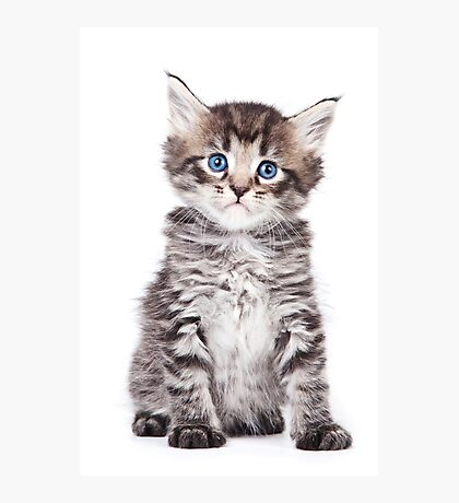 Striped silver fluffy kitten Photographic Print