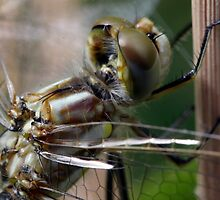 Variegated Meadowhawk, Immature Female, Portrait 2 by Wolf Read
