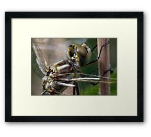Variegated Meadowhawk, Immature Female, Portrait 2 Framed Print