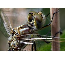 Variegated Meadowhawk, Immature Female, Portrait 2 Photographic Print
