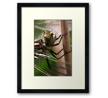Variegated Meadowhawk, Immature Female, Portrait 1 Framed Print