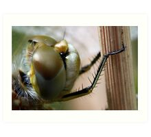 Variegated Meadowhawk, Immature Female, Close Crop of Eyes 2 Art Print