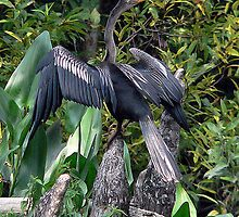 Anhinga Drying Wings by WTBird