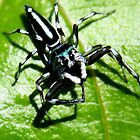 Arachnida small jumping spider by robmac