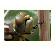 Variegated Meadowhawk, Immature Female, Close Crop of Eyes 1 Art Print