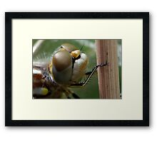 Variegated Meadowhawk, Immature Female, Close Crop of Eyes 1 Framed Print
