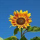 Sunflower 2 by Jeff Ashworth & Pat DeLeenheer
