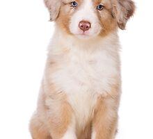 Puppy Australian Shepherd by utekhina