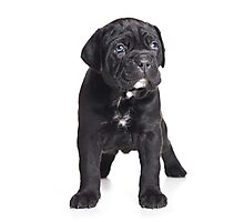 Black Cane Corso puppy Photographic Print