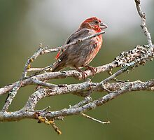 House Finch by David Friederich