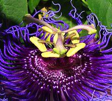 Purple Passion Flower by mimialanjo