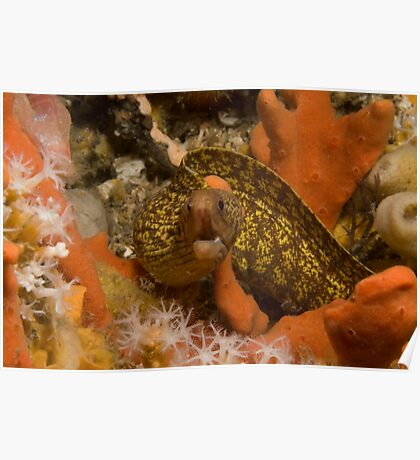 Sieve-Patterned Moray Poster