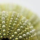 urchins by Sue Hammond