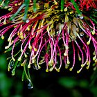 Grevillea by KeepsakesPhotography Michael Rowley