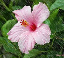 Hibiscus in the Rain by Pam Moore