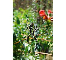 Sunbathing Garden Spider Photographic Print