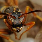 Paper Wasp - Polistes fuscatus by main1