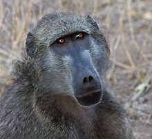Baboon by Richard Craddock