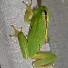 Green Tree Frog by taiche