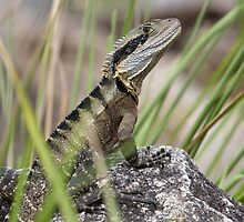 Eastern Water Dragon by Blue Gum Pictures