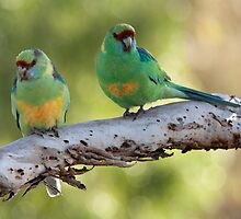 Mallee Ringnecks by Blue Gum Pictures