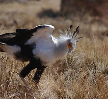 The Secretary Bird by laureenr