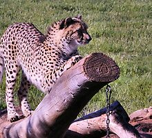 Sharpening The Claws! by gypsygirl