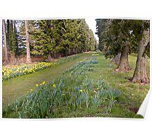 Daffodill Path Poster