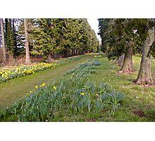 Daffodill Path Photographic Print