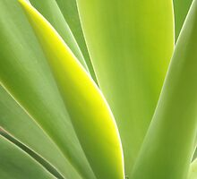 Agave attenuata by LouJay