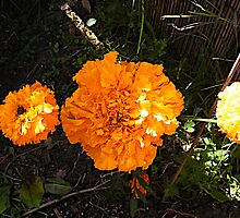 Giant Marigold amongst regular marigolds  by mandyemblow