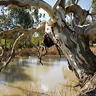 river redgum by Andrew Cowell