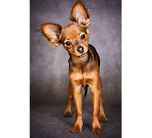 red toy terrier puppy Photographic Print