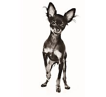 toy terrier puppy Photographic Print