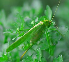 green Grasshopper by mariette sardin