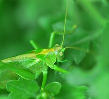 grasshopper 's head by mariette sardin
