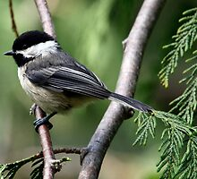Black-Capped Chickadee Profile by Wolf Read
