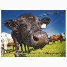 Cows by Marlene Hielema