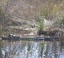 Gator in the Path by WTBird