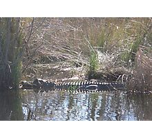 Gator in the Path Photographic Print