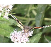 Red Admiral butterly Photographic Print