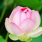 Lotus Blossom by Anne Smyth
