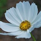 White Cosmo by Tracey Hampton